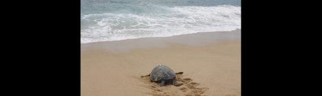 México y la tortuga marina: cuatro cosas que hay que saber