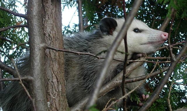 640px-possum122708