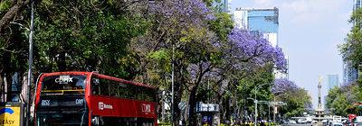 Marzo se pinta de morado; las jacarandas han florecido en la Ciudad de México