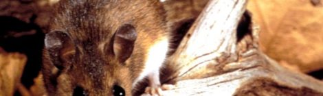 Hay una invasión de ratas en la Ciudad de México